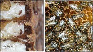 Varroa destructor mites on pupae and adult bees