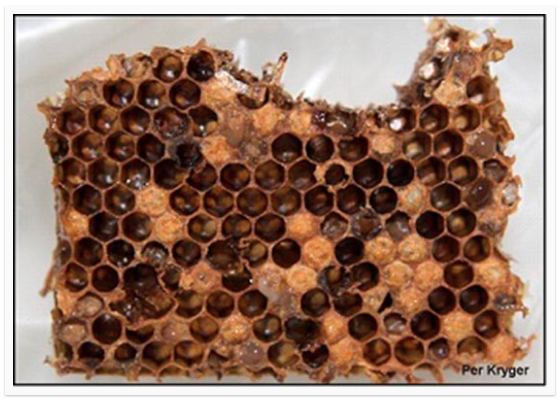 Bee diseases – Part 1 – Bacterial: American Foulbrood