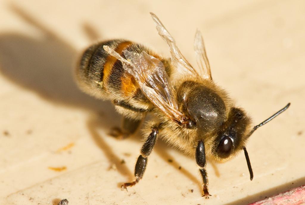 Bee diseases – Part 4 – Virusses