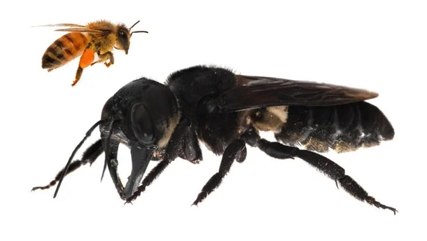 World's largest bee, feared to be extinct, found again!