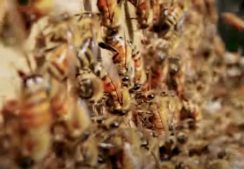 WATCH: How Do Honeybees Get Their Jobs?