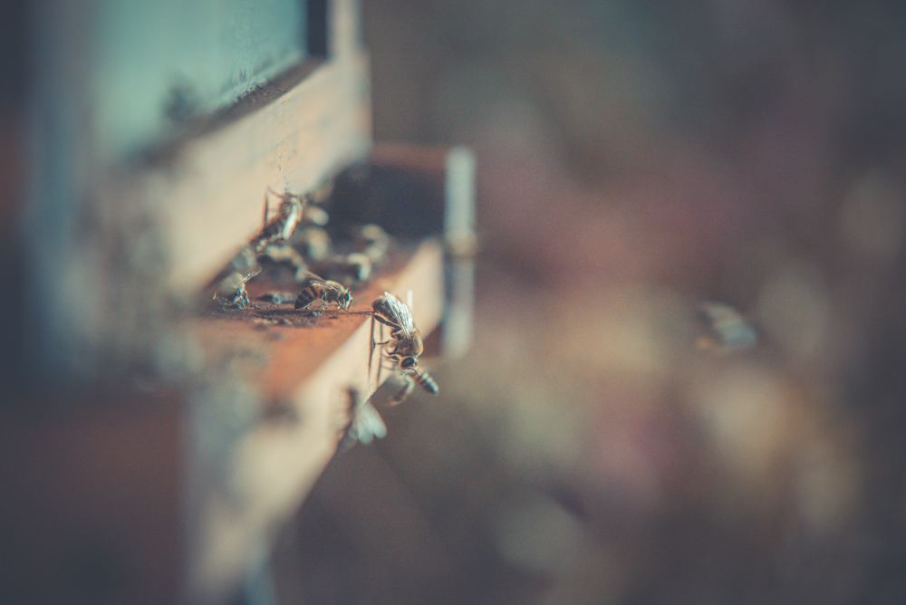What can we do to help preserve honeybees